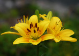 Day Lily - 4