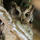 Tropical-Screech Owl