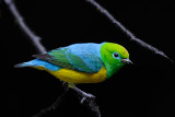 Blue-naped Chlorophonia