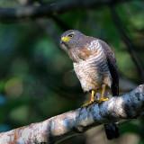 Roadside Hawk1