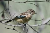 Chat Flycatcher - juvenile