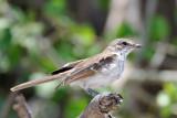 Chat Flycatcher