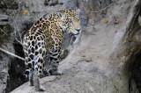 Jaguar - Brazil