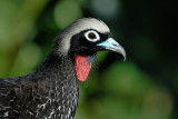 Black-fronted piping-guan