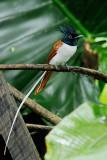 Asian-Paradise Flycatcher