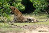 Leopard female - Sri Lanka