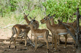 Antelope Botswana