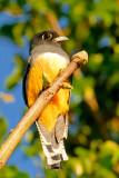 Violaceous Trogon - female