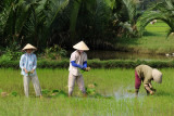 Woman working on the ricefield