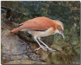 Pale-legged Hornero