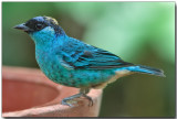 Golden-naped Tanager - female