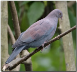 Maranon Pigeon