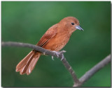 White-lined Tanager - female