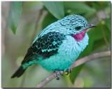 Spangled Cotinga - Male