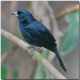 White-lined Tanager - male