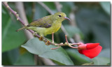 Olive-backed Sunbird - Female
