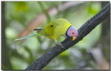 Plum-headed Parakeet - male