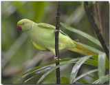Rose-ringed Parakeet - female