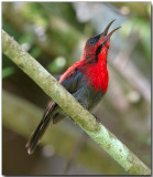 Crimson Sunbird singing