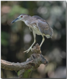 Black-crowned Night Heron - juvenille