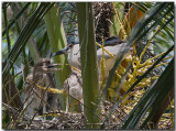 Black-crowned Night Heron - nest & chicks