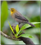 Yellow-hooded Blackbird - female