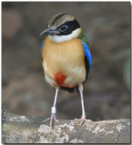 Blue-winged Pita