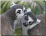 Lemurs Bonding