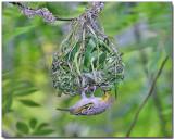 Village Weaver - Female building the nest