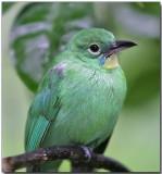 Greater Green Leafbird - female