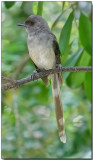 Long-tailed Sebia