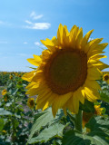 On the road in central SD. Sunflower Fields