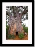 Huge Baobab Tree - Poachers Hide