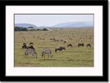 Zebras and Wildebeest Population