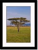 Yellow Acacia Tree