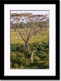 Birds Eye View of Giraffe