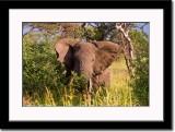 An Irritated Elephant