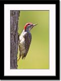 Cardinal Woodpecker 2