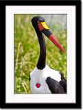 Male Saddle-billed Stork Close-up