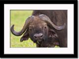Curious African Buffalo Bull