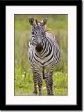 Five-Legged Zebra