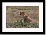Watchfull Cheetah