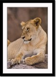 Resting Lioness on Kopje