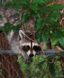06 14 06  Raccoon at nite, lightened in PS,  flash,Nikon  D50 tamron.jpg