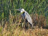105 Grey Heron.jpg