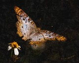 Butterfly Paint nt 7840.jpg