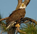 Eagle nt1847.jpg