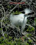 Snowey Egret t3811.jpg