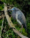 Tricolor Heron 3772.jpg