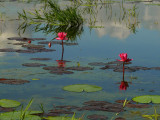 Waterlilies 1.jpg
